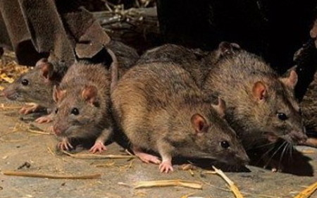 Пролетна дератизација против глувци во Куманово