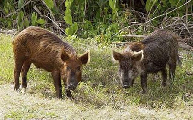 Дива свиња во Куманово