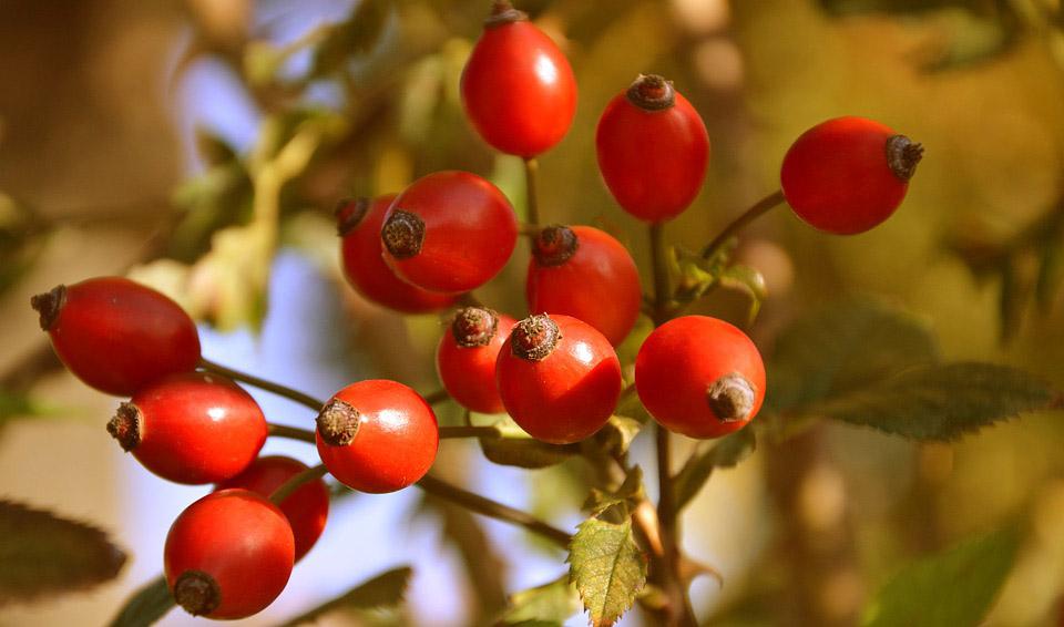 Шипинките се богат извор на витамин Ц и извонреден напиток во зима